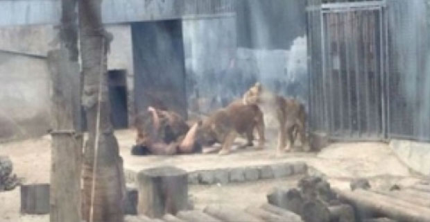 Seorang Pria Nekad Bunuh Diri di Kandang Singa Karena Takut 'Kiamat'