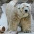 Beruang Kutub Yang Terkenal Paling Menyedihkan di Dunia Ini Akhirnya Mati