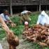 Virus Flu Burung Ganas Melanda China dan Susah Dideteksi
