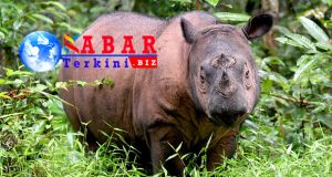 Badak Sumatra Hanya Tinggal 80 Ekor Di Dunia